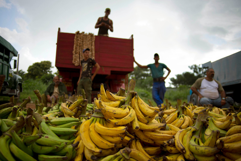 """. In this Sept. 30, 2013 photo, banana growers wait next to their truck for customers at the 114th Street Market on the outskirts of Havana, Cuba. \""""Here it\'s always cheaper than in the markets or kiosks\"""" in the cityís crowded neighborhoods, said Argelio Mendez, a government official who runs the market. (AP Photo/Ramon Espinosa)"""