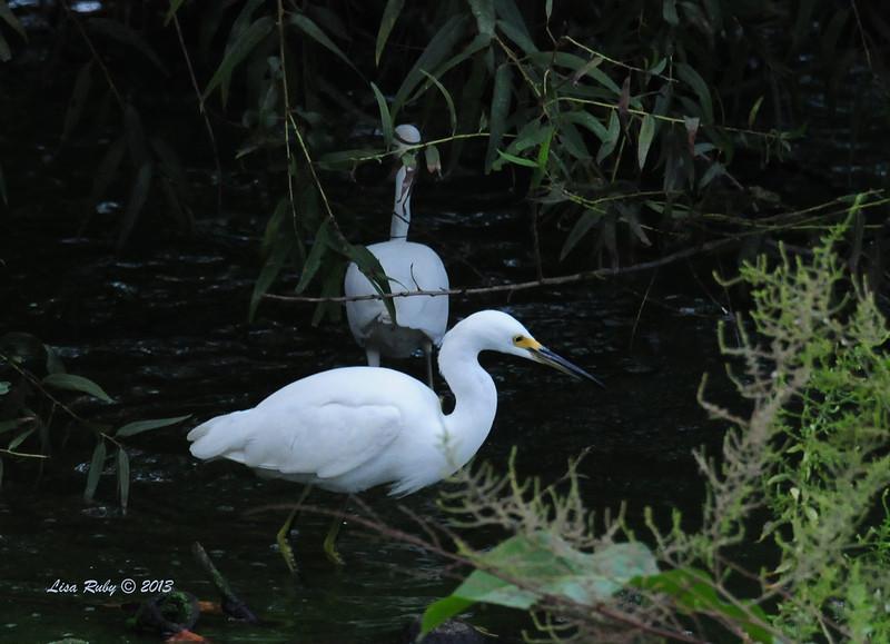 Snowy Egret - 10/12/13 - Whelan Lake