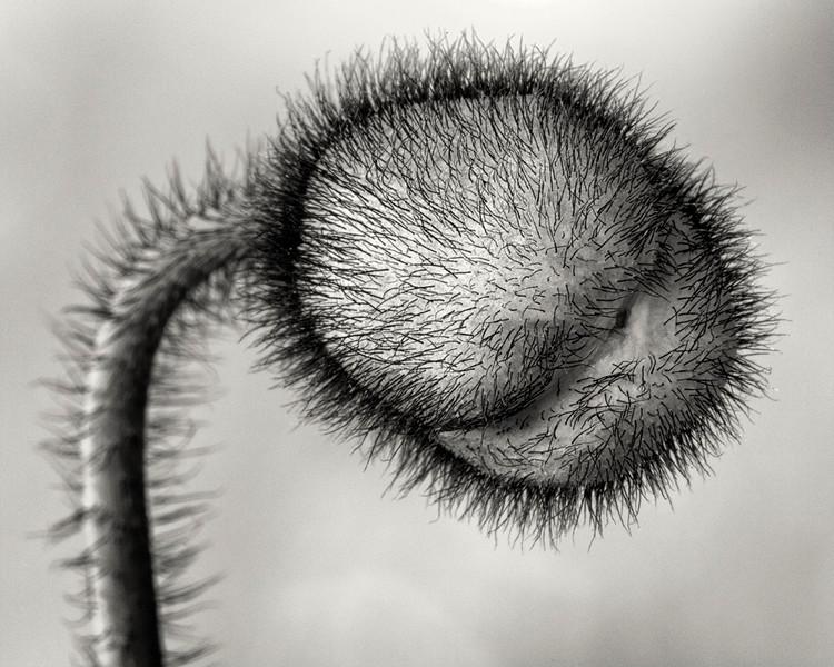 icelandic-poppy-bud2bw.jpg
