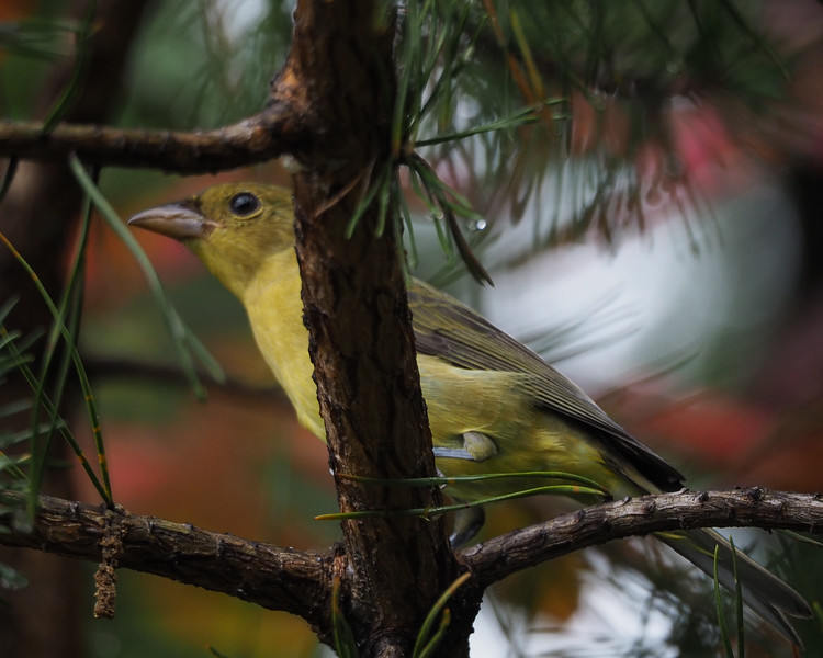 Scarlet Tanager, female