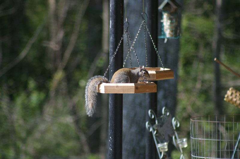Found this guy chomping away in a hanging feeder.  Guess he thought he was at a buffet?