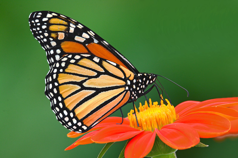 Monarch Nectaring on Mexican Sunflower