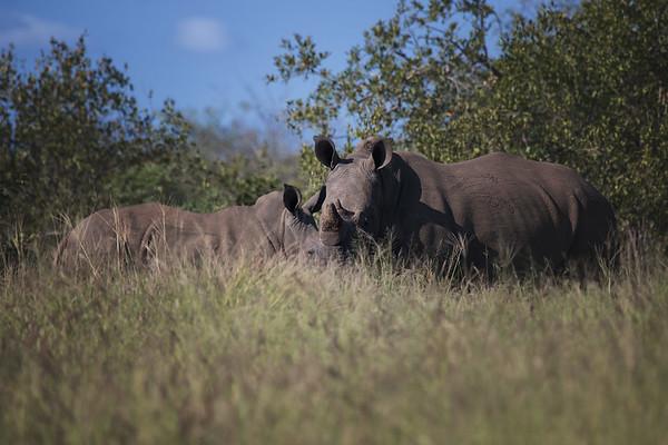 Elephant's, Rhino's, and Cape Buffalo