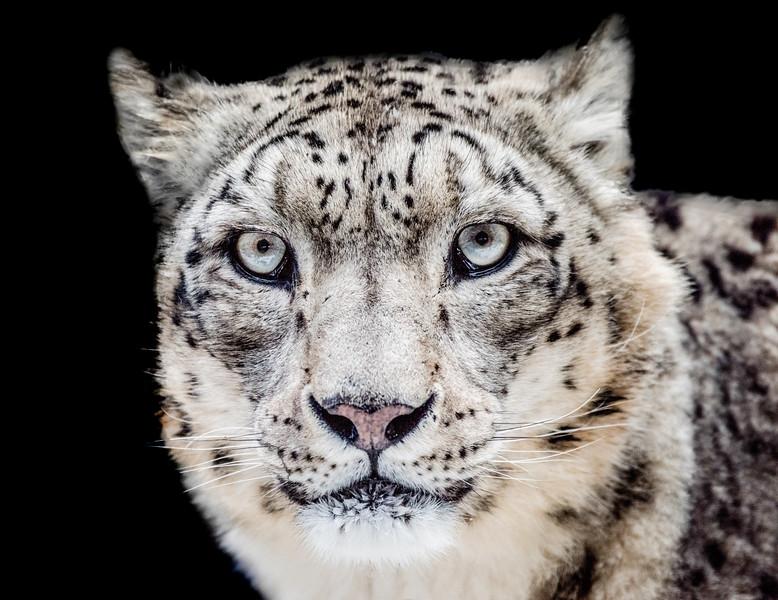 Snow leopard face close-up looking at camara