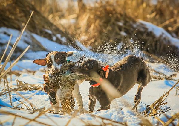 Minnesota State Pheasant Championship - Jan 2013
