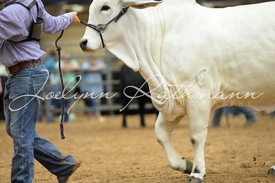 Heifer Showmanship Ringshots