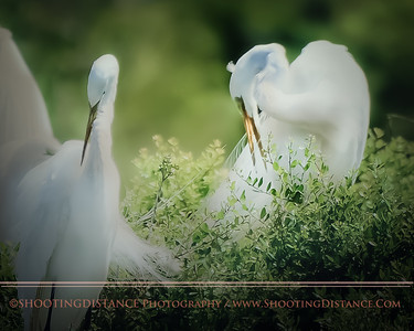 Mating Pair, Great Egrets, High Island, TX