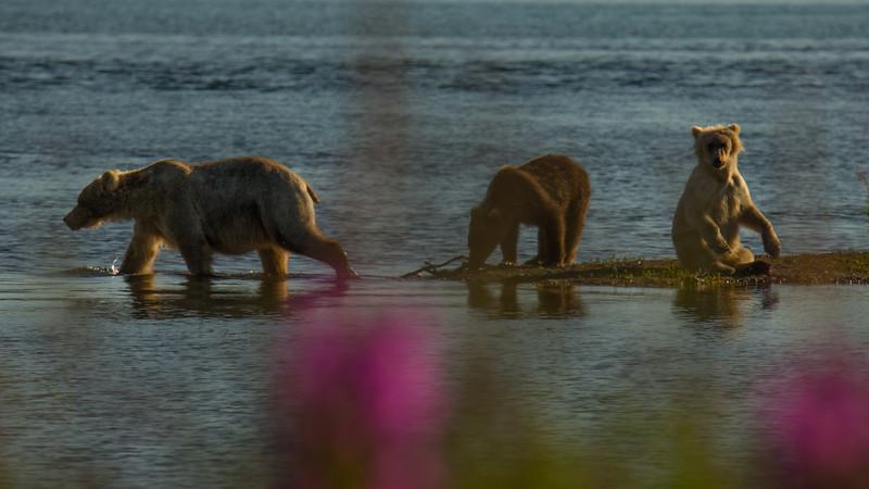 Katmai Bears-38.jpg
