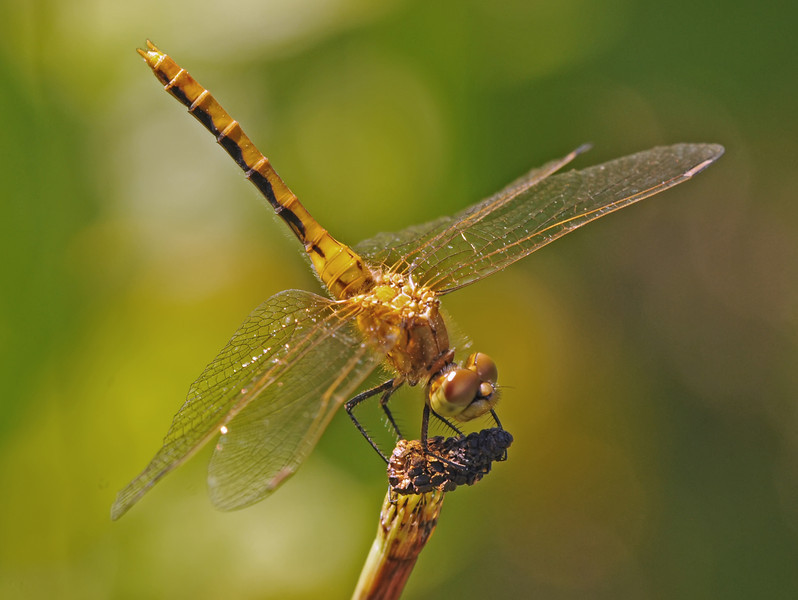 Sympetrum internum (Cherry-faced Meadowhawk),