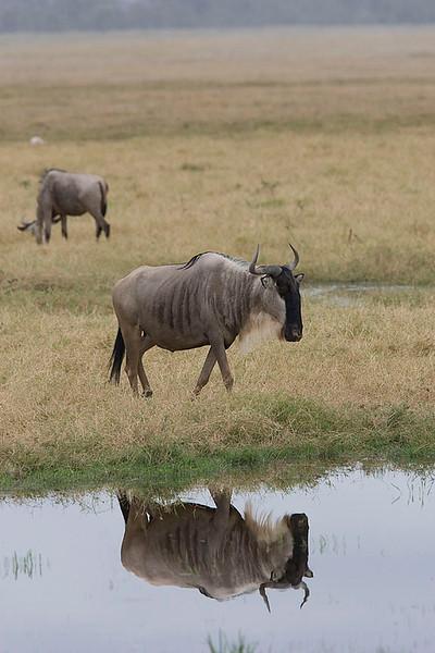 Wildebeest & Warthogs