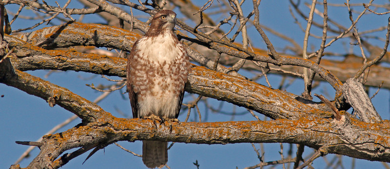 Red Tailed Hawk, Colusa