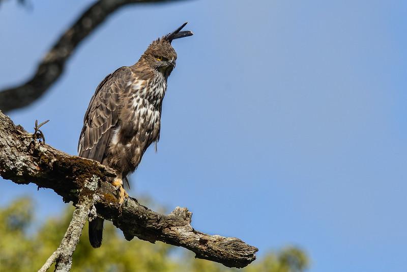 Crested-Hawk-Eagle.jpg