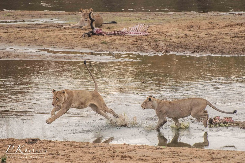 Two Lions Running