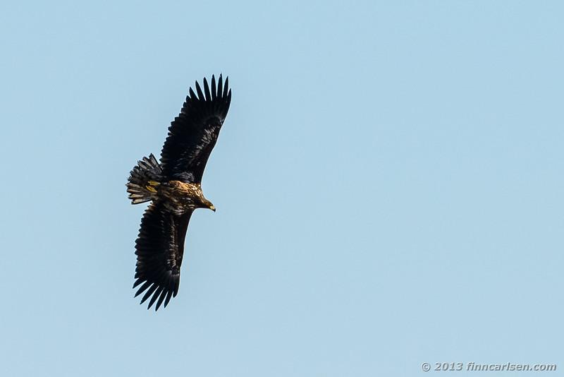 Havørn (White-tailed Eagle - Haliaeetus albicilla)