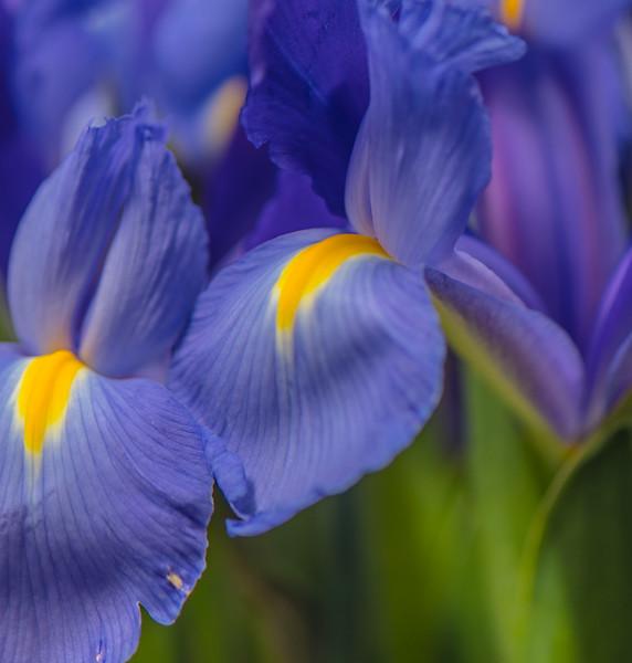 BLUE IRIS   13