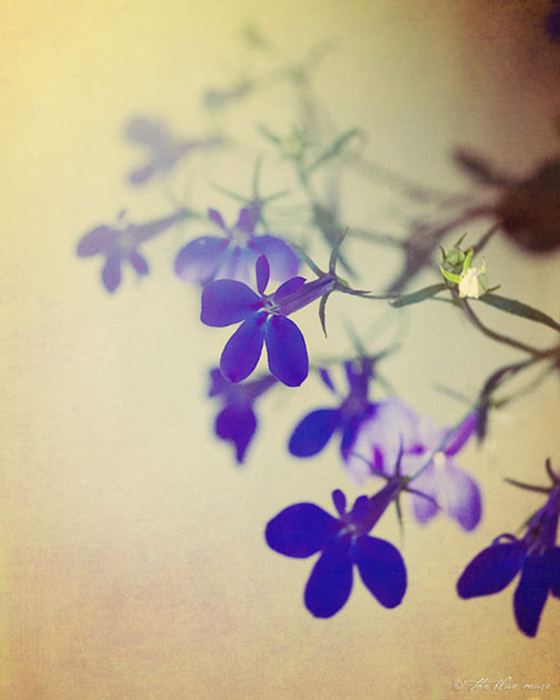 lobelia, summer, flower, lazy