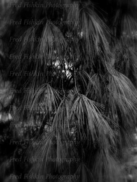 sayen pines.jpg
