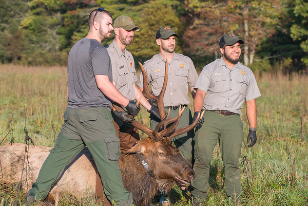 Cataloochee Elk Work-up