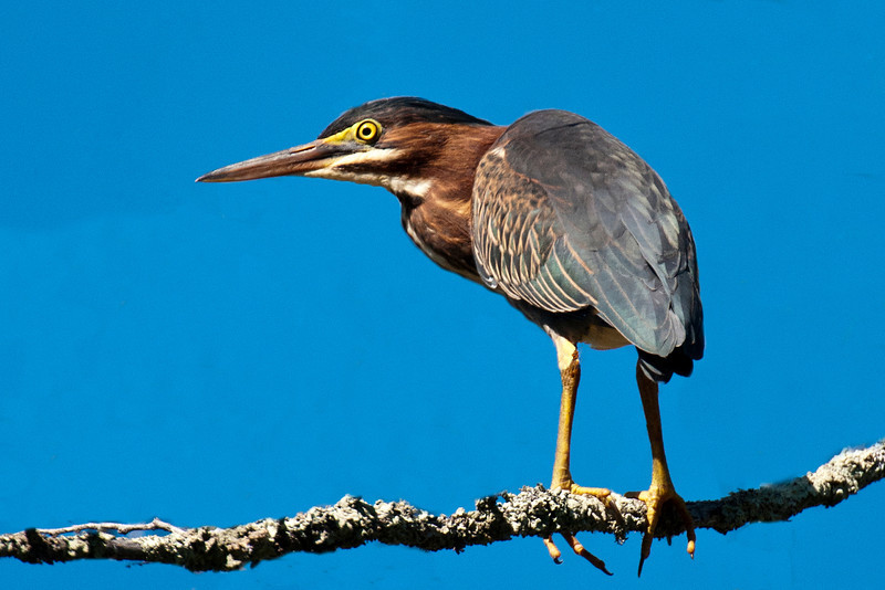 Heron - Green - Forest History Center - Grand Rapids, MN