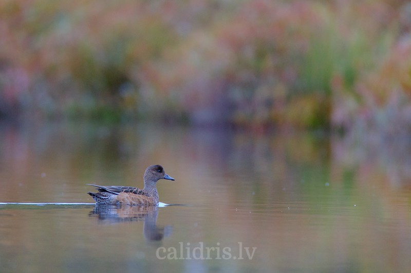 Common Pochard (juv.) / Brunkaklis (jaunais putns)