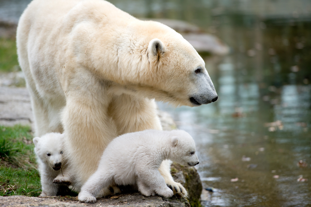 . Two 14-week old polar bear twins and their mother Giovanna explore their enclosure at the Hellabrunn zoo in Munich, Germany, Wednesday, March 19, 2014. The cubs who were born on Dec. 9, 2013 were presented to the public for the first time. (AP Photo/dpa, Sven Hoppe)