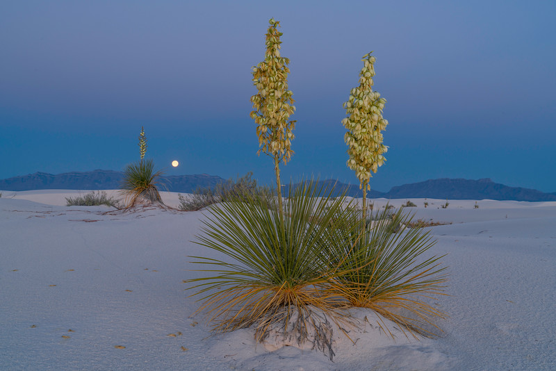 Moonset With Yuccas