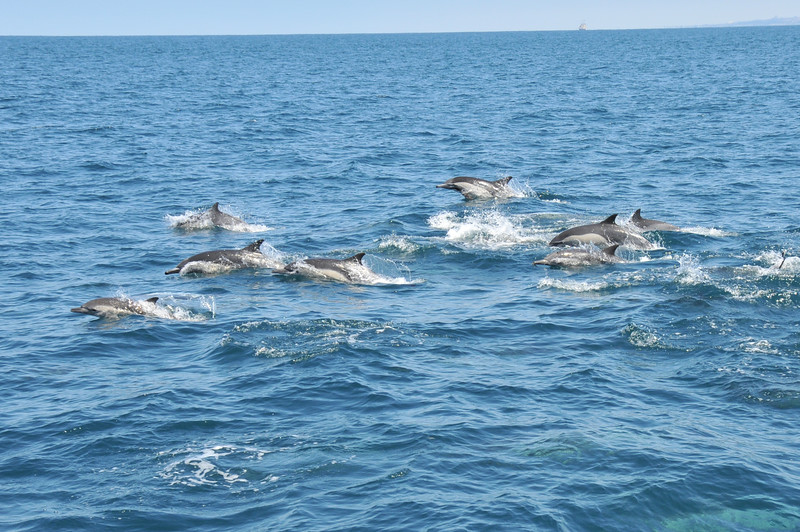 Pod of Long-beaked Common Dolphins swimming.