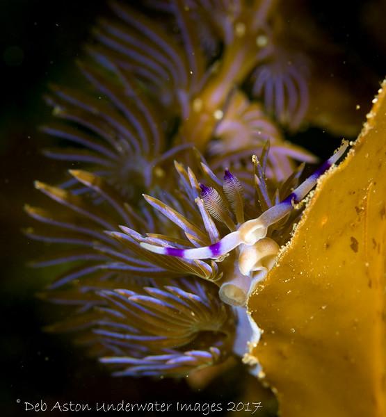 Pteraeolidia ianthina Bare Island