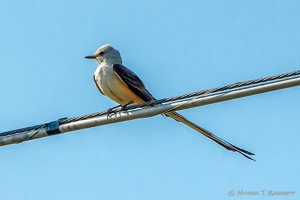 ScissorTailed Flycatcher (2013)