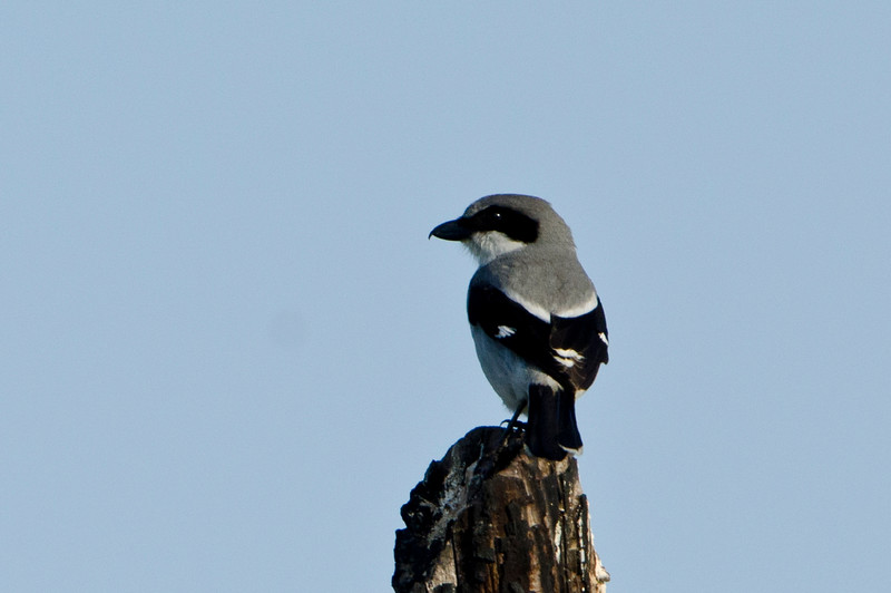 Logger-headed Shrike