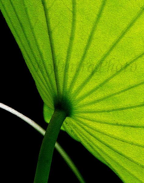 Lotus Leaf 863