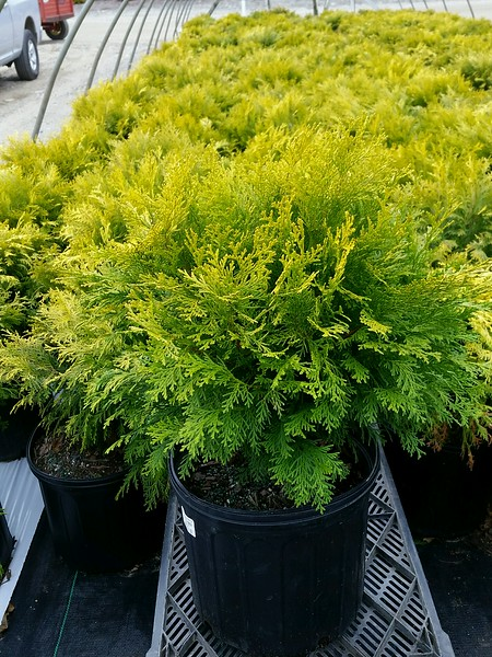 Chamaecyparis obtusa 'Night Light' #3.jpg