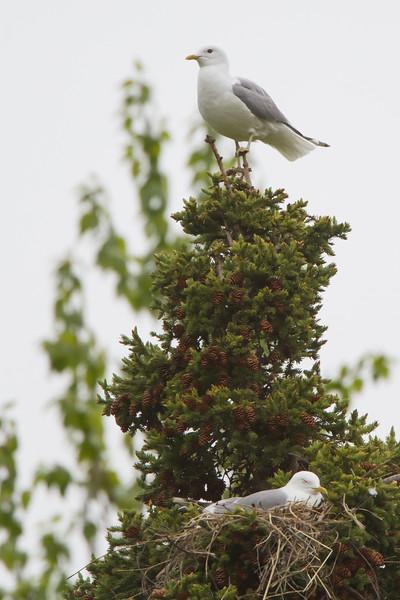 Mew Gull - Anchorage, AK, USA