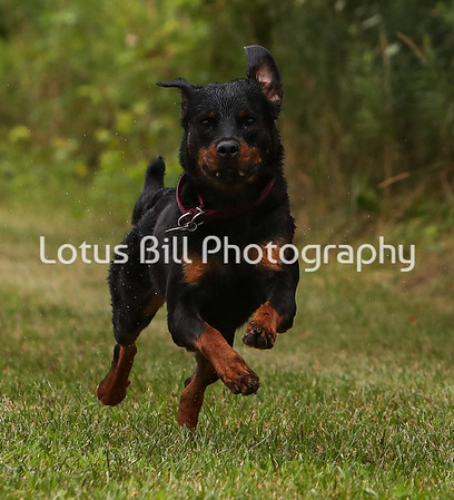 Rottweiler SR2