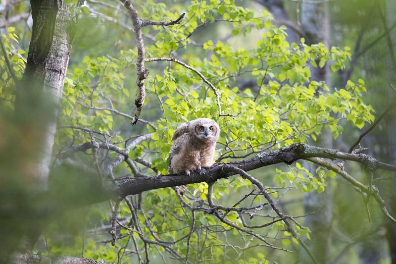Great Horned Owl juvenile Skogstjarna Carlton Co MN IMG_0020016.jpg