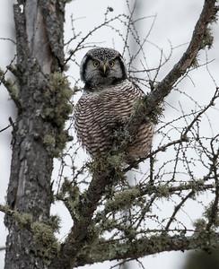 Northern Hawk Owl 12-2017