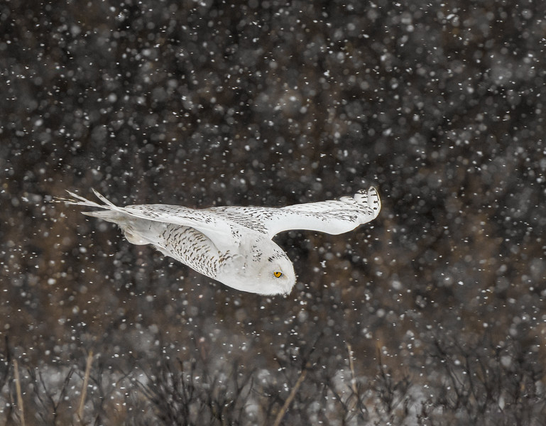 DSC_4706-Edit Snowy Owl DB one more dive-2.jpg