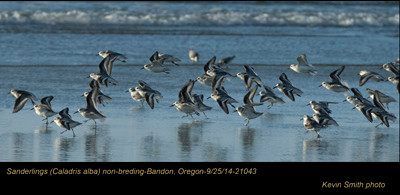 Sanderlings 21043.jpg