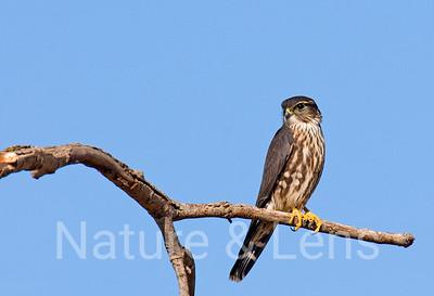 Falcons, Merlins