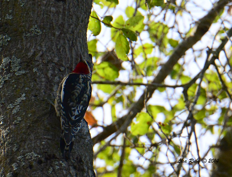 Red-naped Sapsucker - 12/7/2014 - Dos Picos Park, Ramona