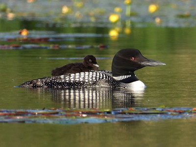 20200616 Common Loon