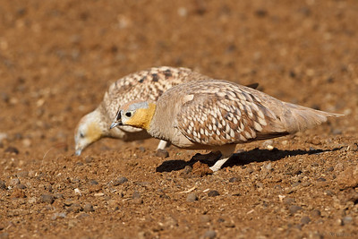 Crowned Sandgrouse קטת הכתר
