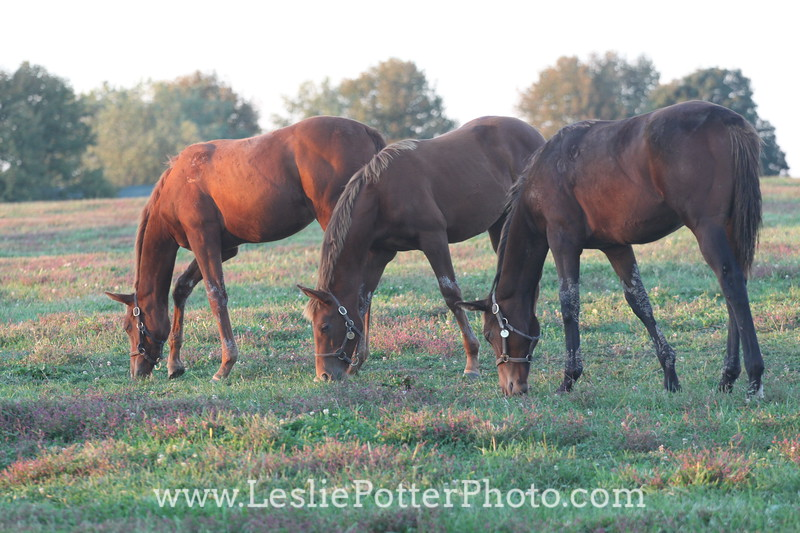 Yearling Thoroughbred Horses Grazing