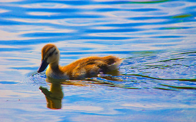 Swimming baby Mallard