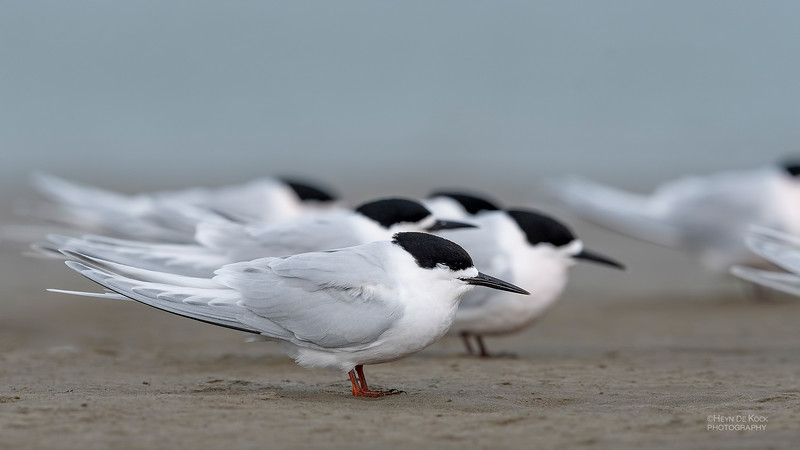 White-fronted Tern, Christchurch, SI, NZ, Sep 2018-5.jpg