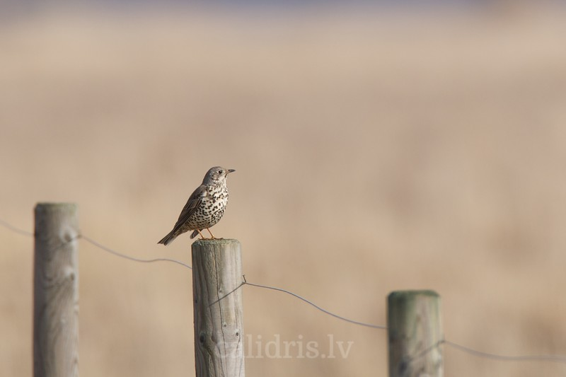 Mistle Thrush pearched on a fence pole