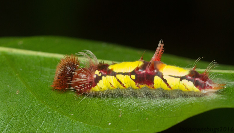 Morpho butterfly caterpillar from Panama.