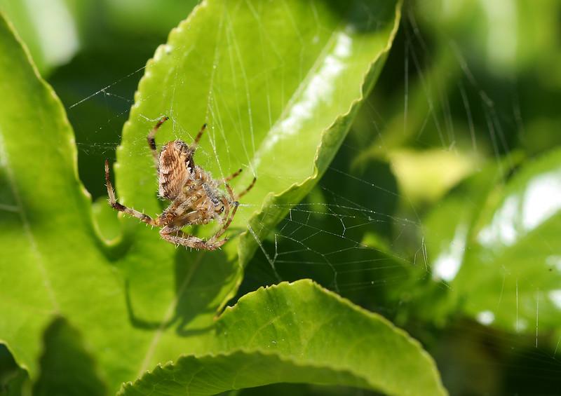 1692 Spider.jpg