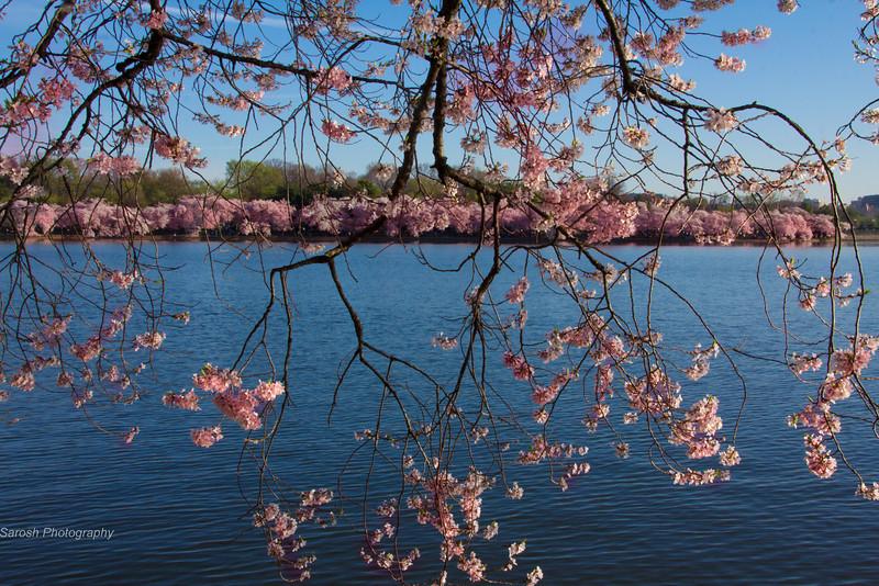 CherryBlossomSP-8.jpg