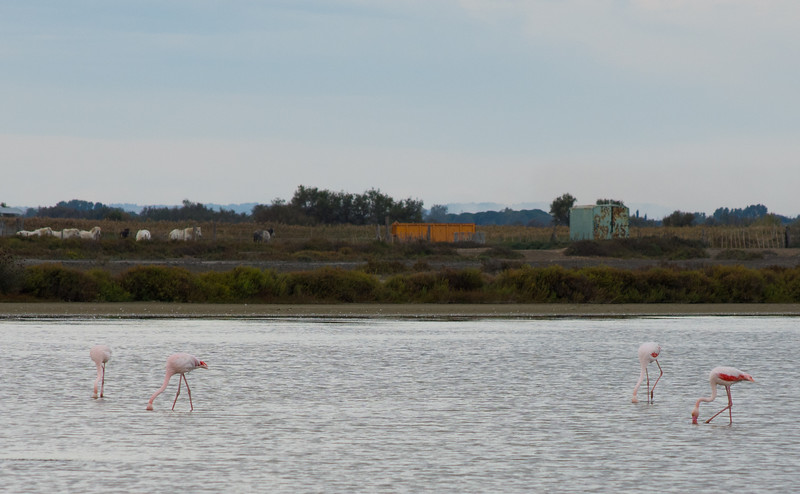 pink flamingos in a bay